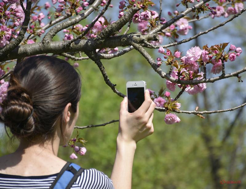 fotografiere telefonul mobil fata poza flori ciresi parcul herastrau bucuresti