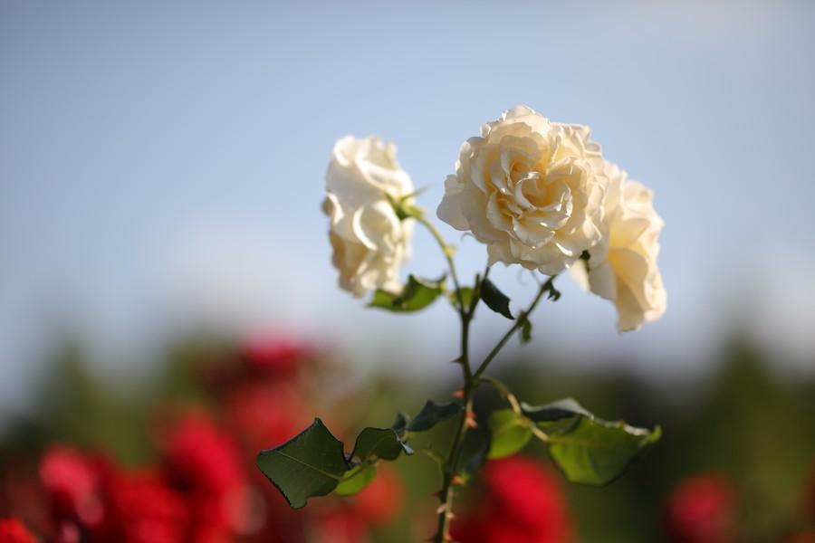 poza trandafiri review obiectiv bokeh Satoru Korenaga SIGMA 105mm F1.4 DG ART