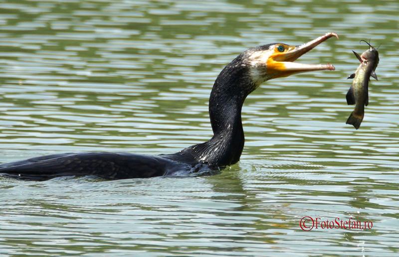 poza cormoran pasare manaca peste lacul titan bucuresti parc ior