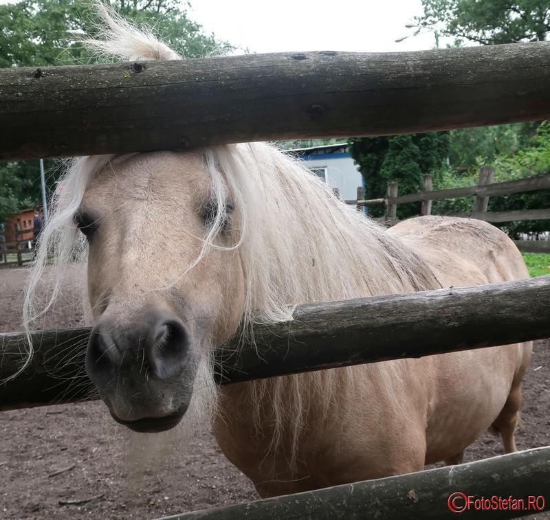 Gradina Zoologica Timisoara poze ponei shetland fotografii