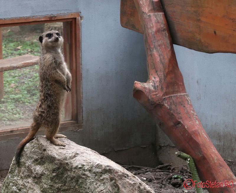 gradina zoologica timisoara poze suricata fotografii zoo banat