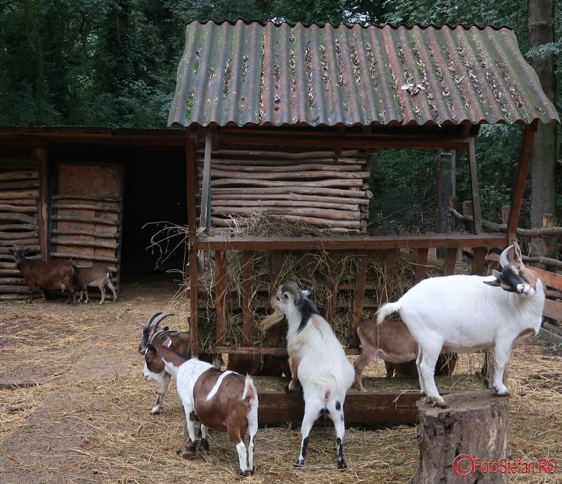 Gradina Zoologica Timisoara poze capre fotografii