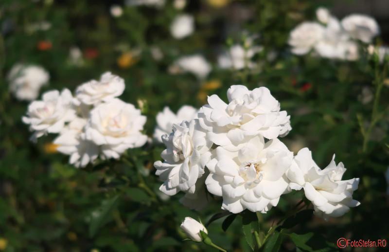 Parcul Rozelor Timisoara poze fotografii trandafiri Romania