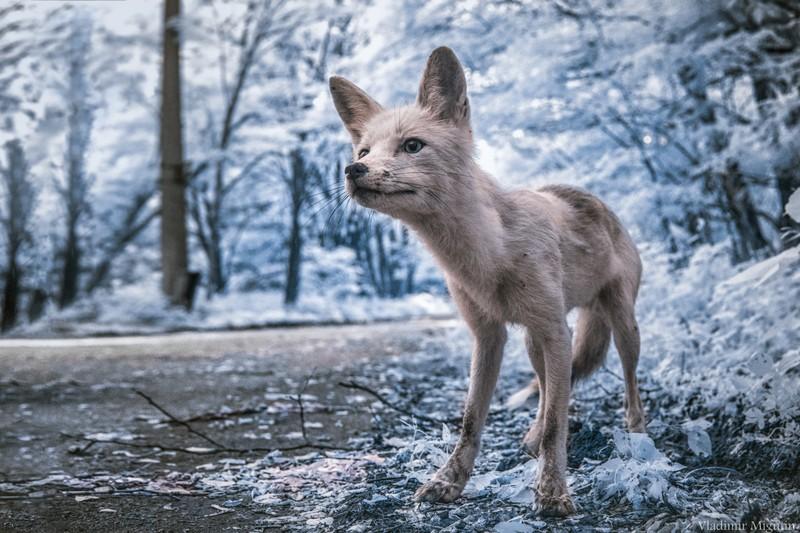 Vladimir Migutin fotograf poza in infrarosu vulpe cernobil