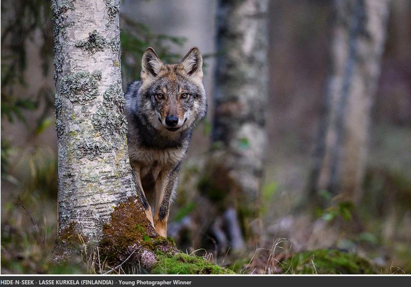 Lasse Kurkela tanar fotograf poza lup padure