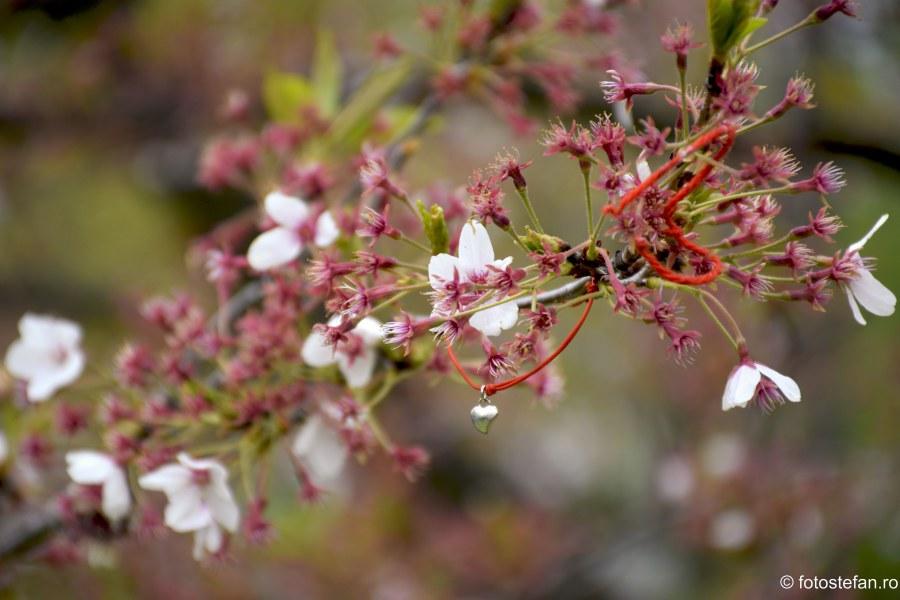 Hanami Bucuresti poza flori cires martisor legat copac herastrau