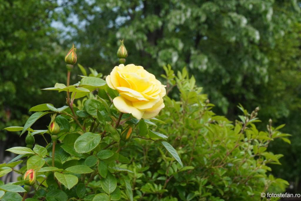 fotografie trandafiri parc titan bucuresti