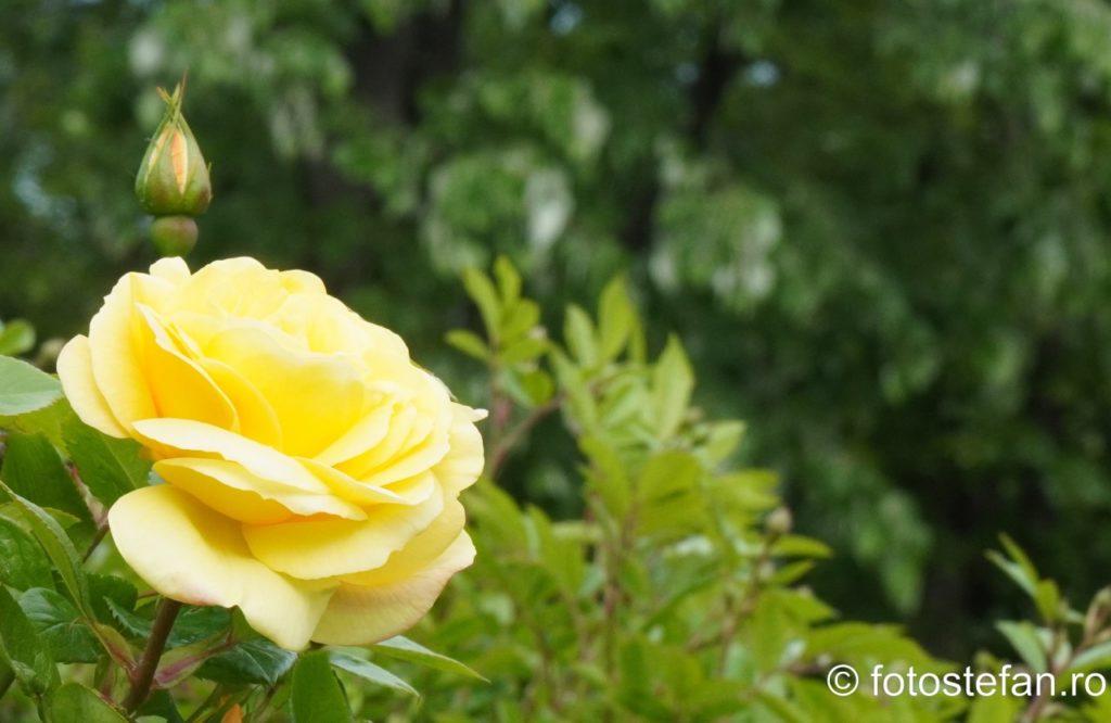 poza trandafiri bucuresti romania