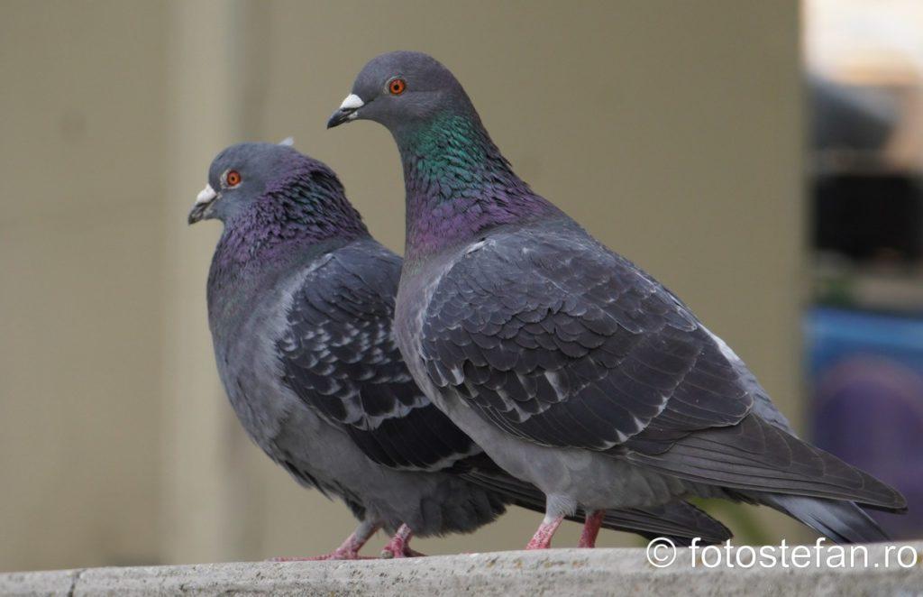 fotografie doi porumbei bucuresti