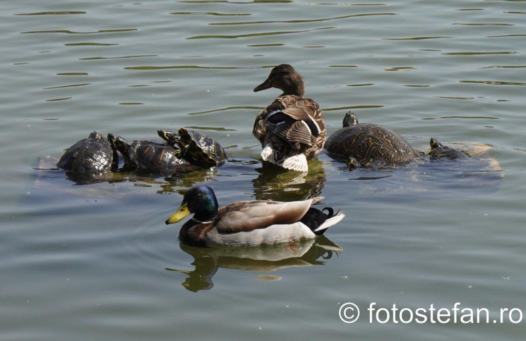 fotografie rate broaste testoase lac parcul carol bucuresti