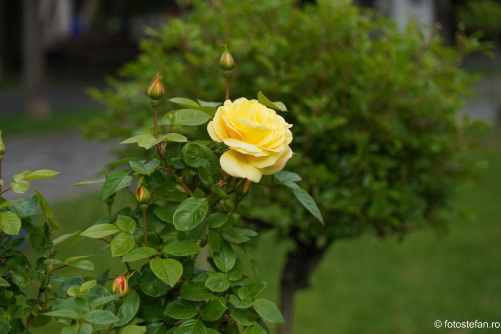 fotografie trandafir falben test zoom sony 16-70mm f/4 za oss vario tessar t