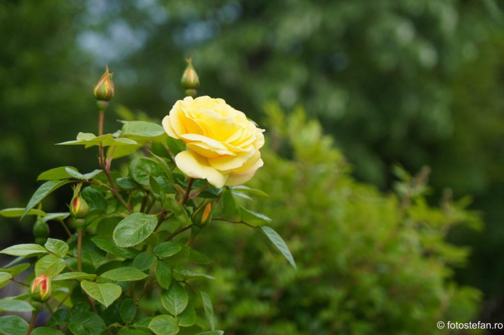 poza trandafir galben parc titan bucuresti