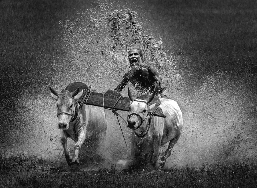 poza alb negru boi india Ziua Internationala a Fotografiei