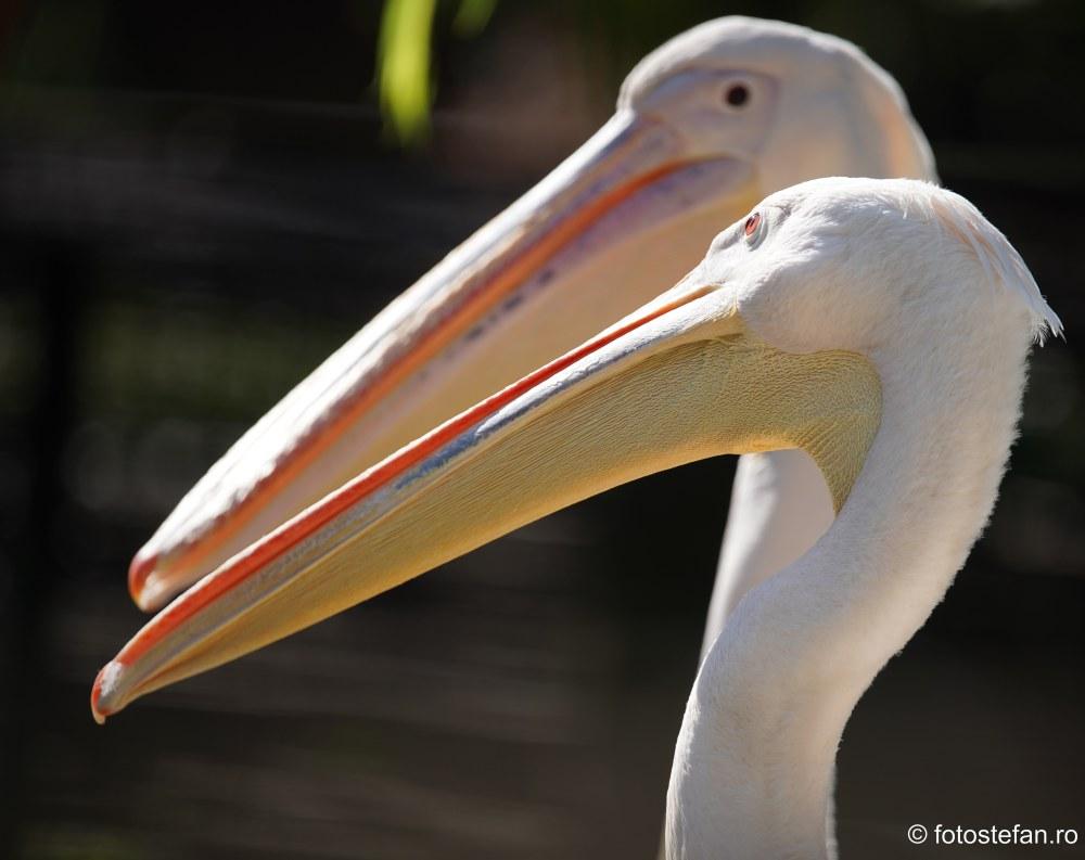 poza pelicani Gradina Zoologica Bucuresti pareri