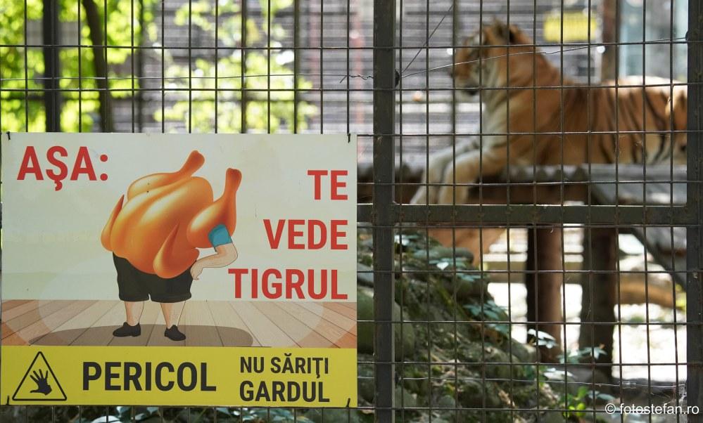 poze Gradina Zoologica Bucuresti fotografie tigru afis poster