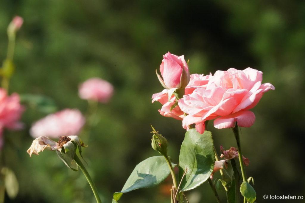 poze trandafir parcul circului bucuresti