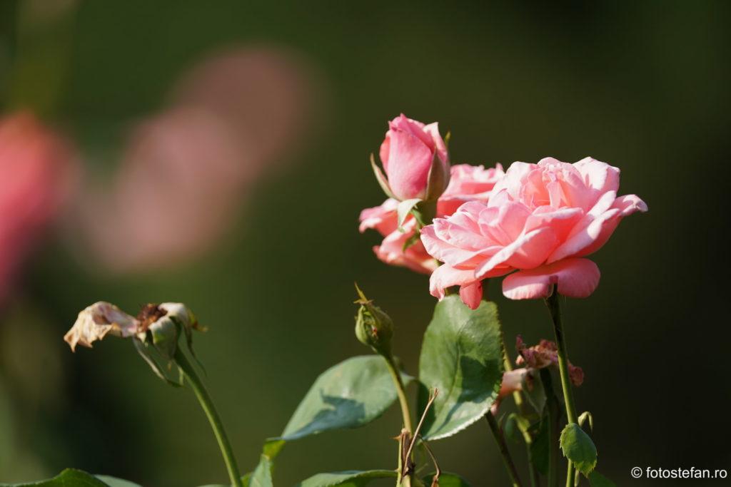 fotografii trandafiri bucuresti sony fe 200-600mm review