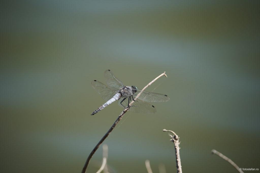 fotografii libelula lac titan parc cuza bucuresti sector 3