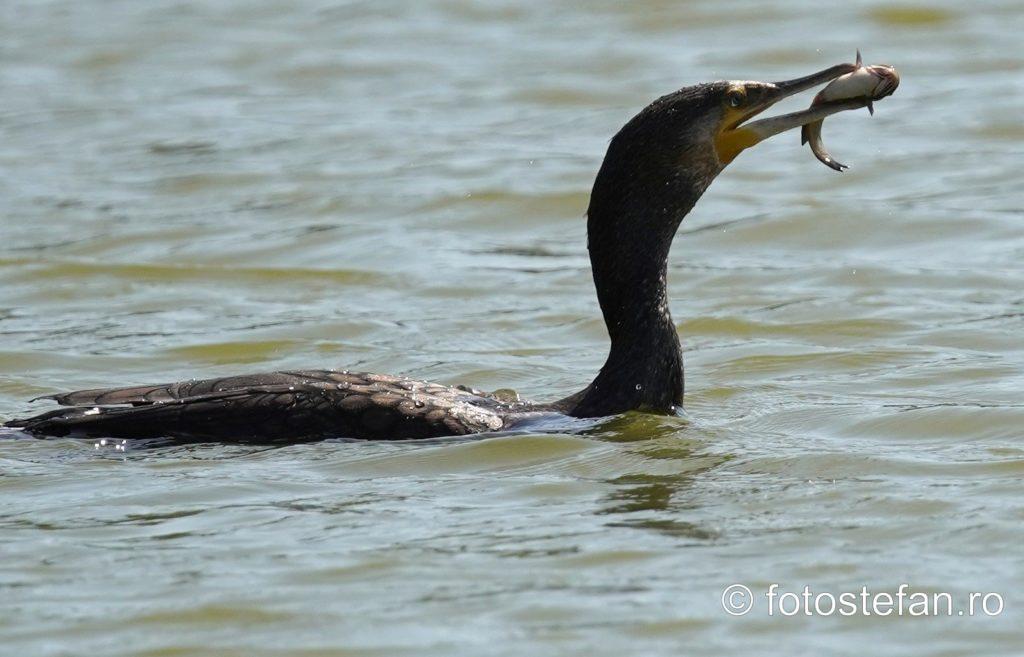 cormoran mananca peste lac titian parc cuza bucuresti zoom
