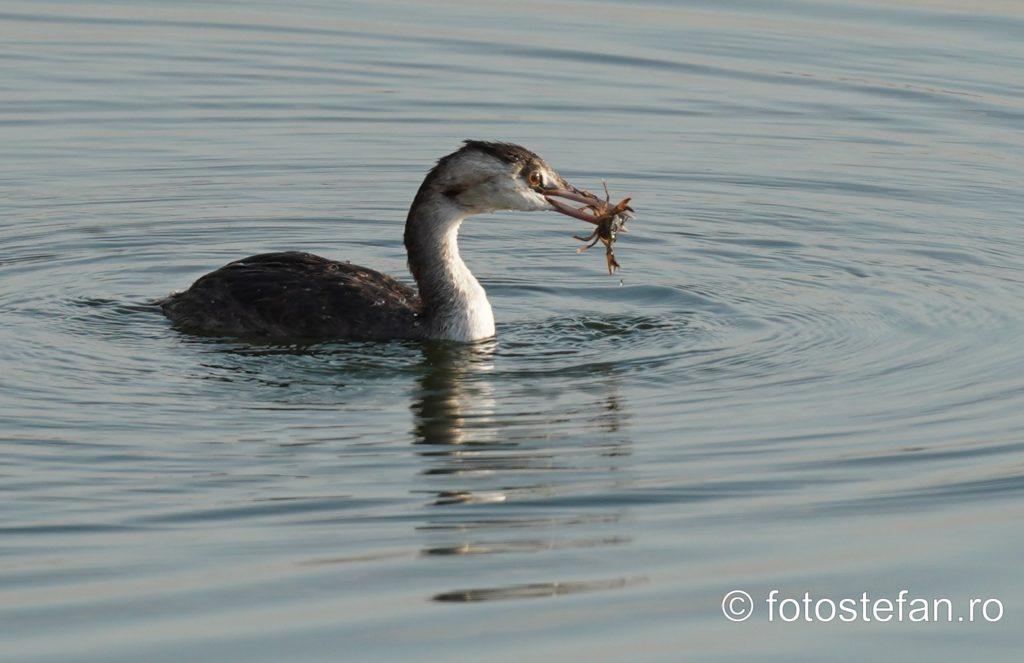 cormoran mananca rac lacul morii crangasi bucuresti