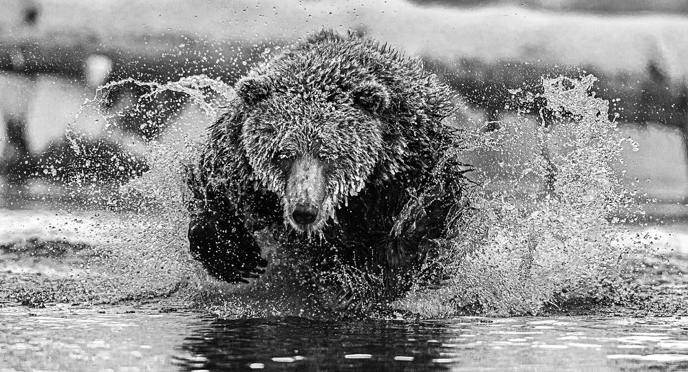 poza alb negru urs brun pescuit apa