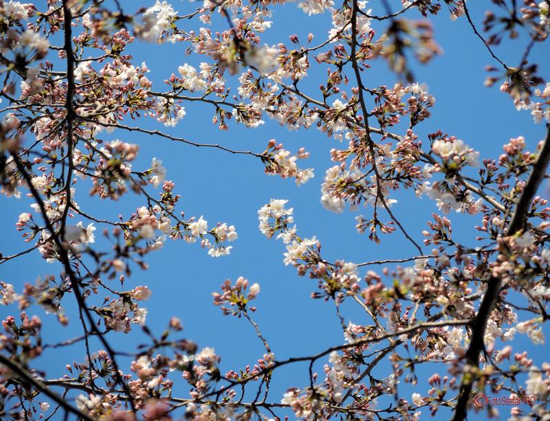 fotografierea florilor de cires gradina japoneza bucuresti