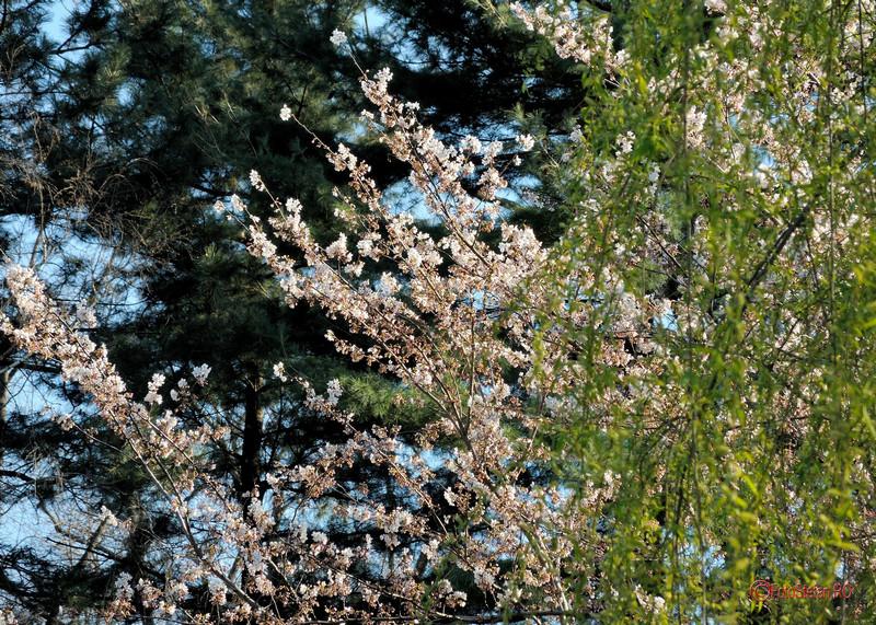 flori de cirese gradina japoneza herastrau bucuresti