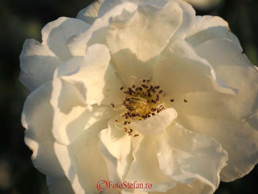 poza floare alba fotografie detalii