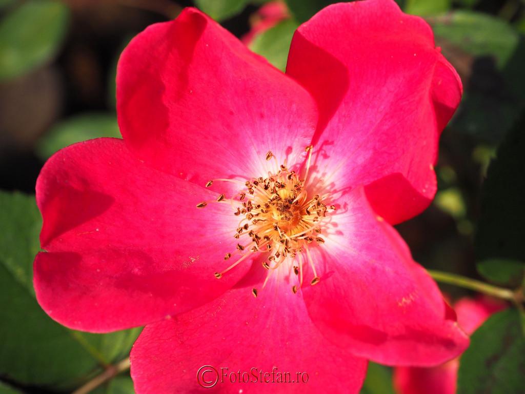 fotografie floare petale rosii detalii