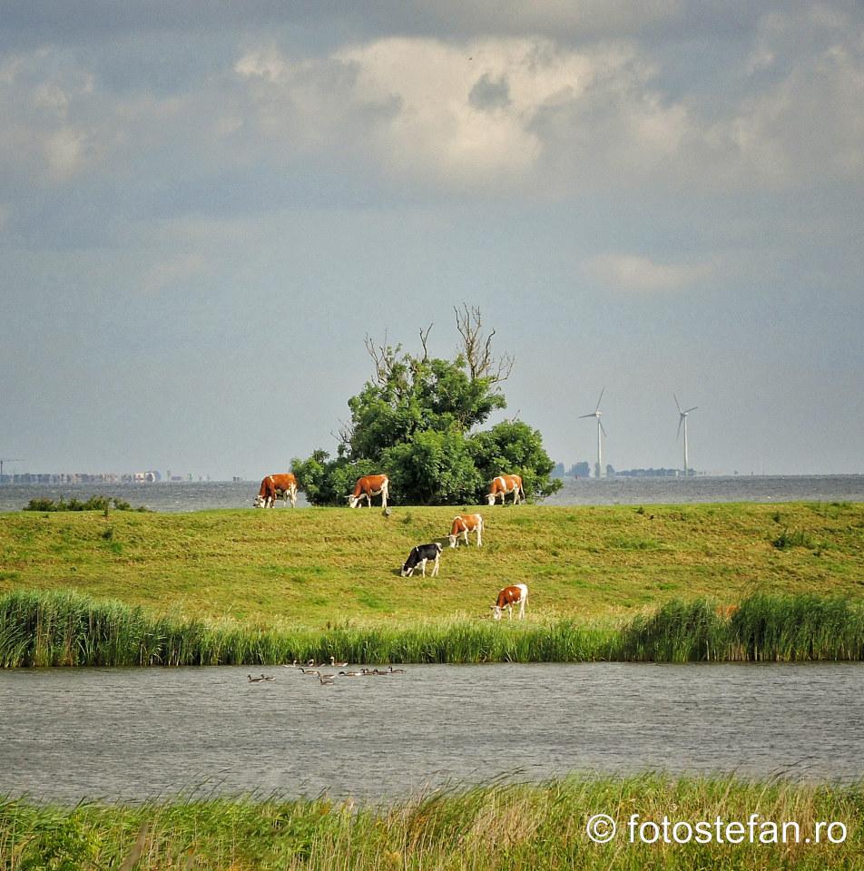 fotografie vaci olandeze la pascut