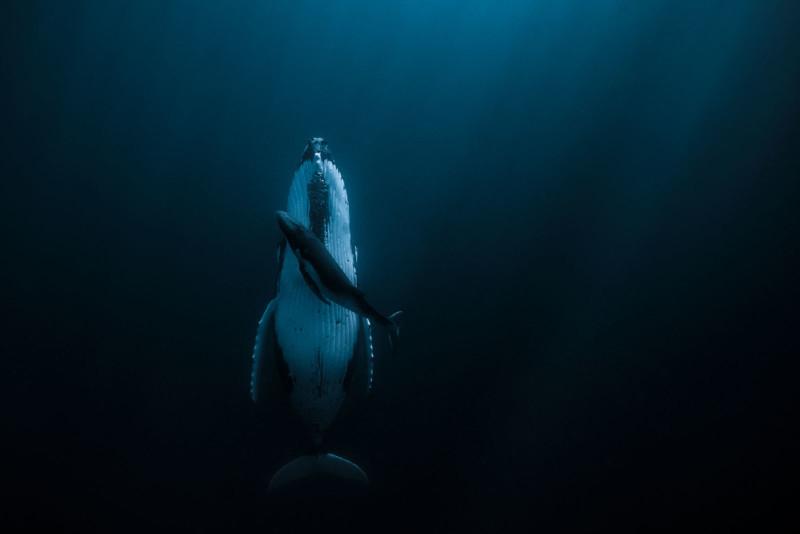 poza cu balena cocosata si puiul ei fotografa australiana