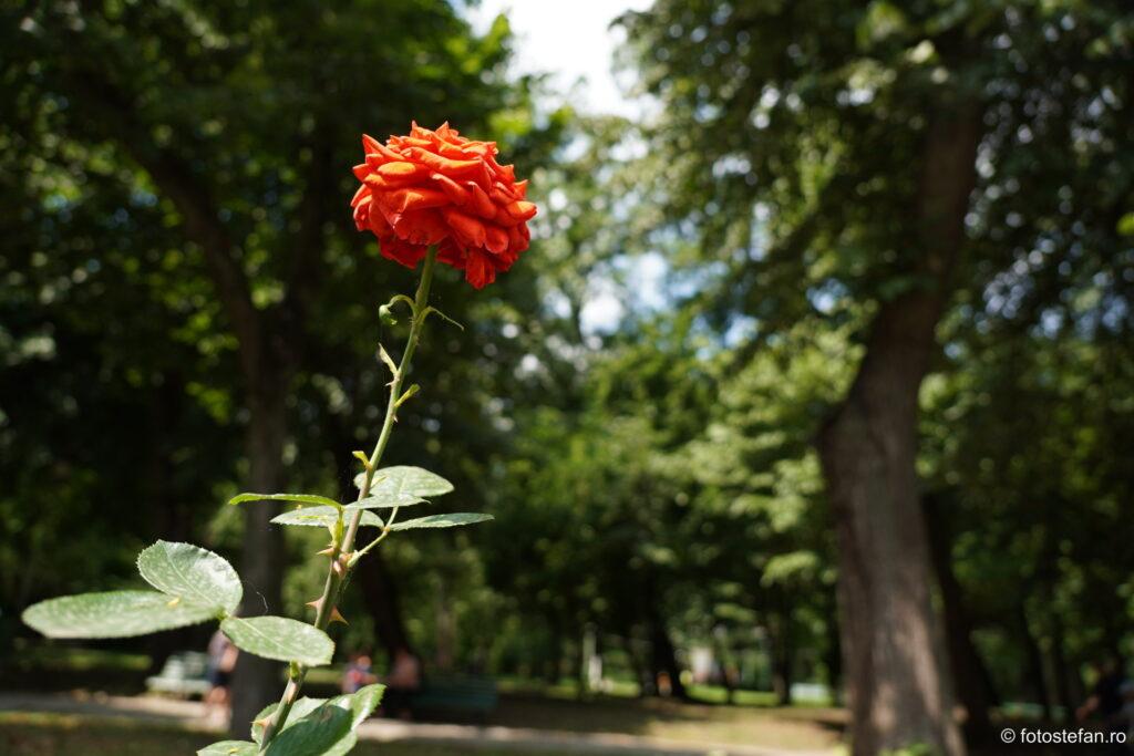 bokeh 16mm sony 16-55 f2.8 sample images rose flower red