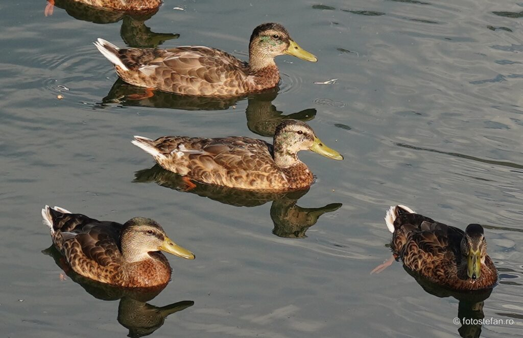 test clear image zoom sony photo birds ducks