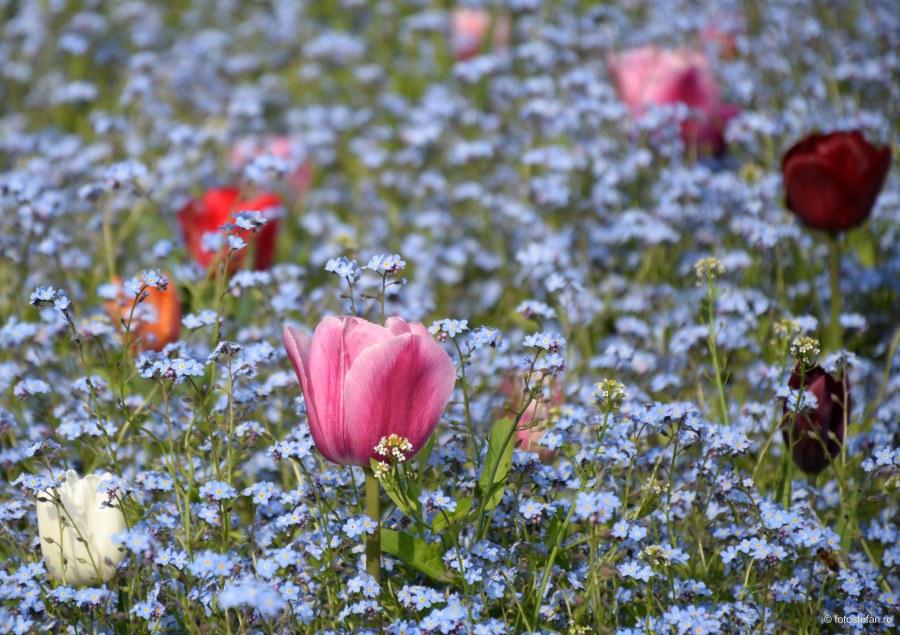 cum sa fotografiezi florile poze lalele color