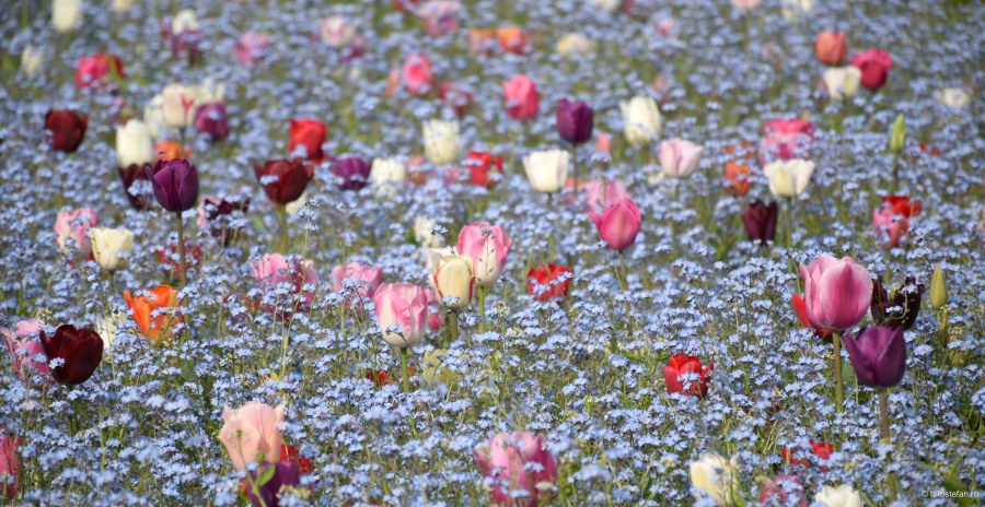 fotografierea florilor poze lalele bucuresti
