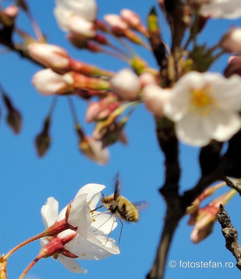 poza albina polenizare floari cires bucuresti herastrau