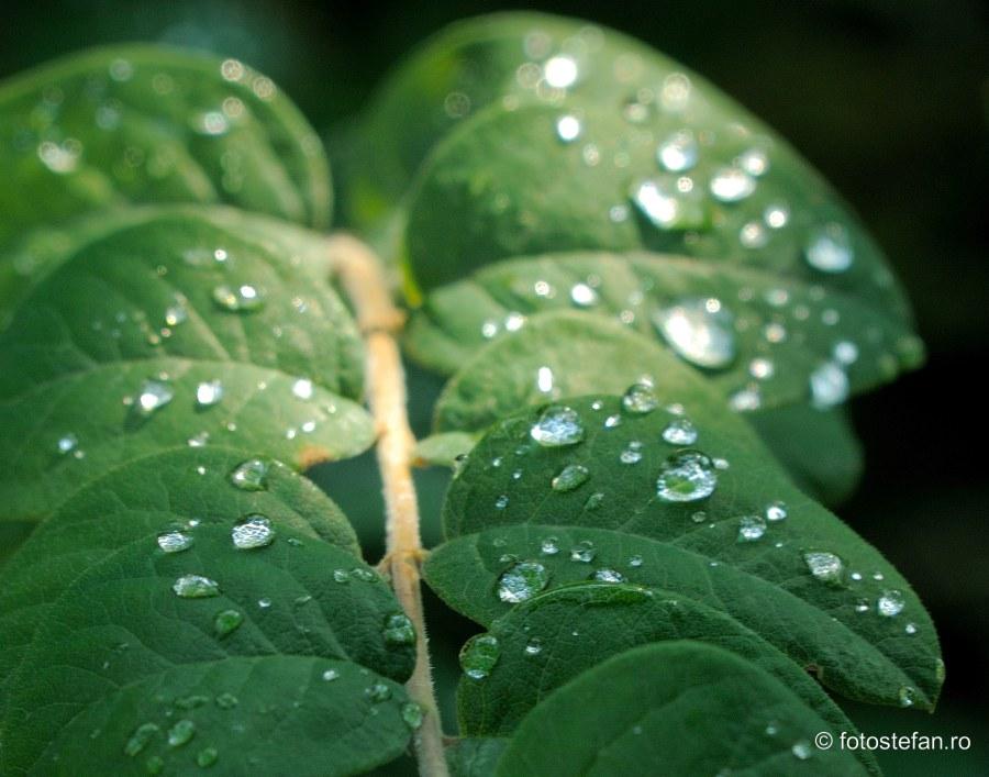 poza roua petale frunze picaturi apa