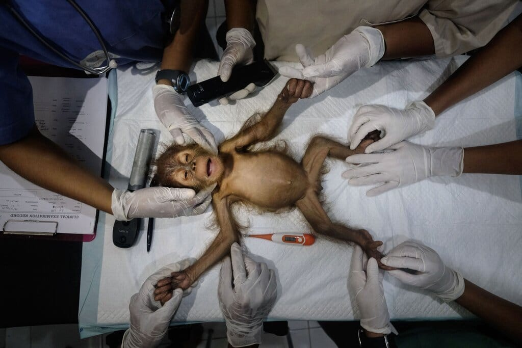 poza operatie maimuta oranguntan medici vetereniari