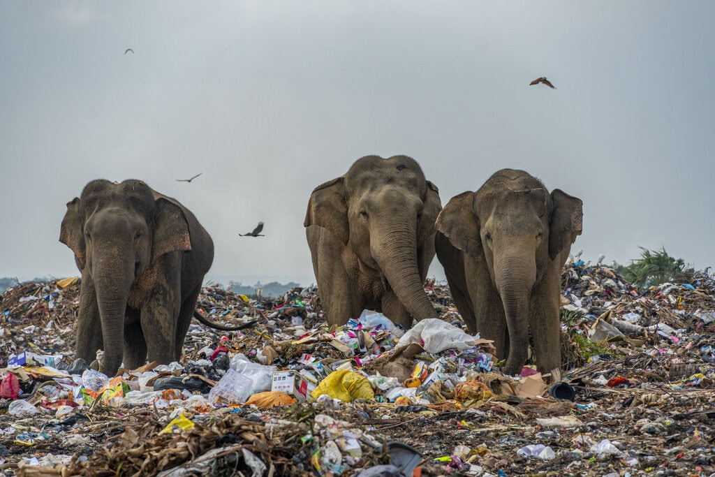poza elefanti mananca plastic groapa gunoi